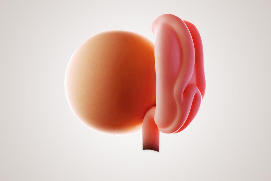 De ontwikkeling van de embryo na 4 weken zwanger