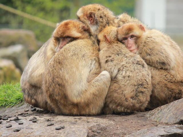 aapjes dierenrijk