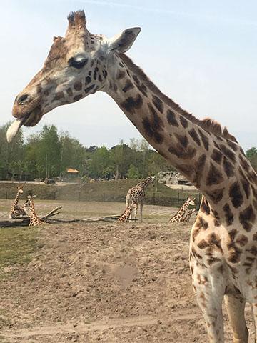 giraffe in safaripark beekse bergen