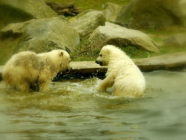 ijsbeertjes in dierenrijk