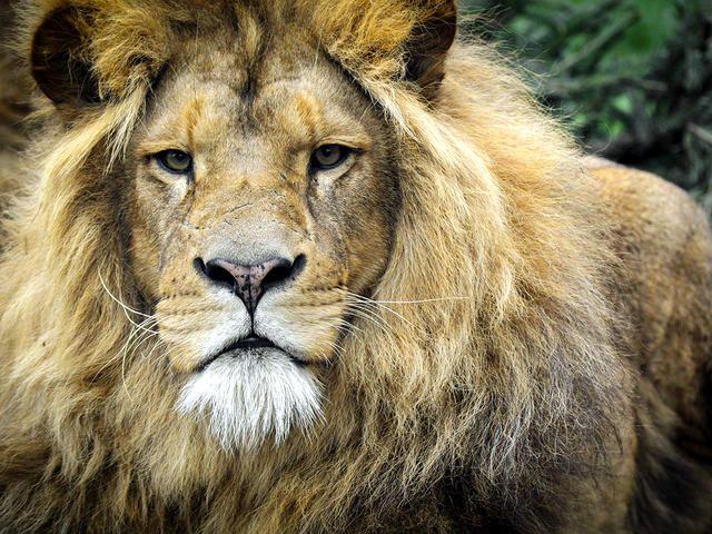 leeuw-dierenrijk-