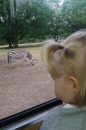 meisje kijkt uit raam safaribus naar zebra
