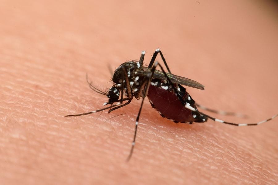 Aedes Aegypti verspreid het zika-virus