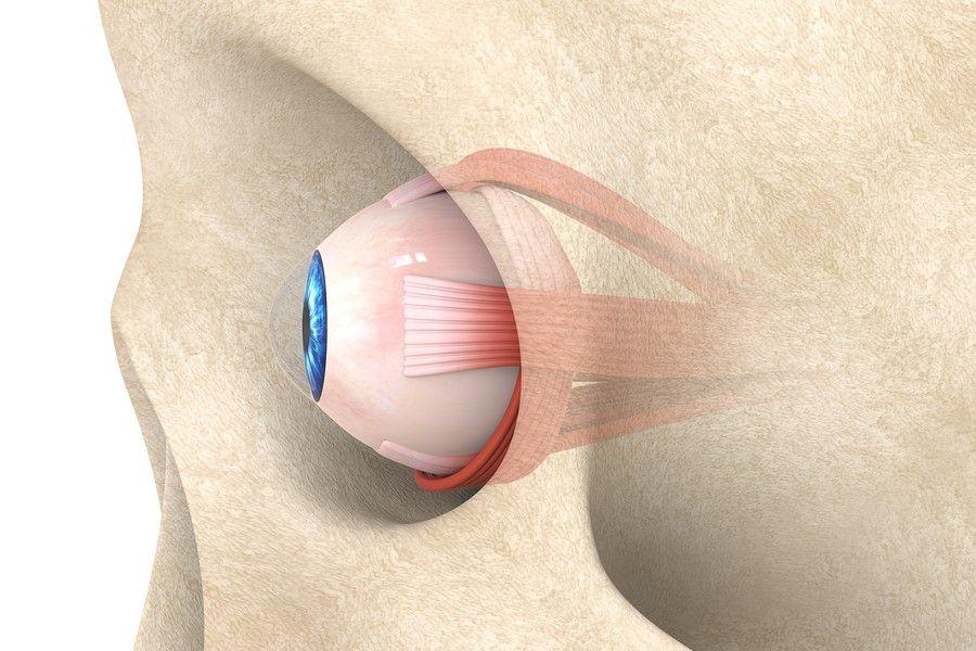illustratie oogspieren in de oogkas