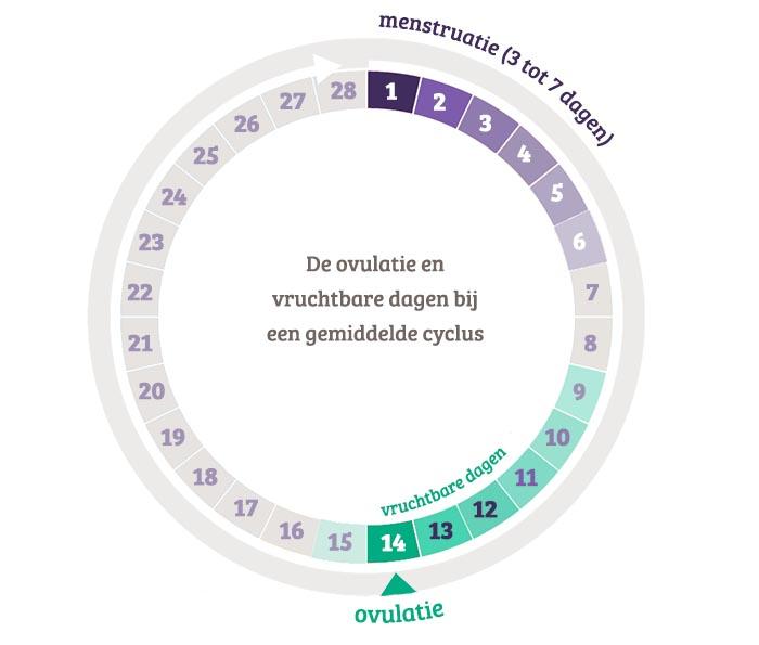 ovulatie en vruchtbare dagen bij een normale menstruatiecyclus