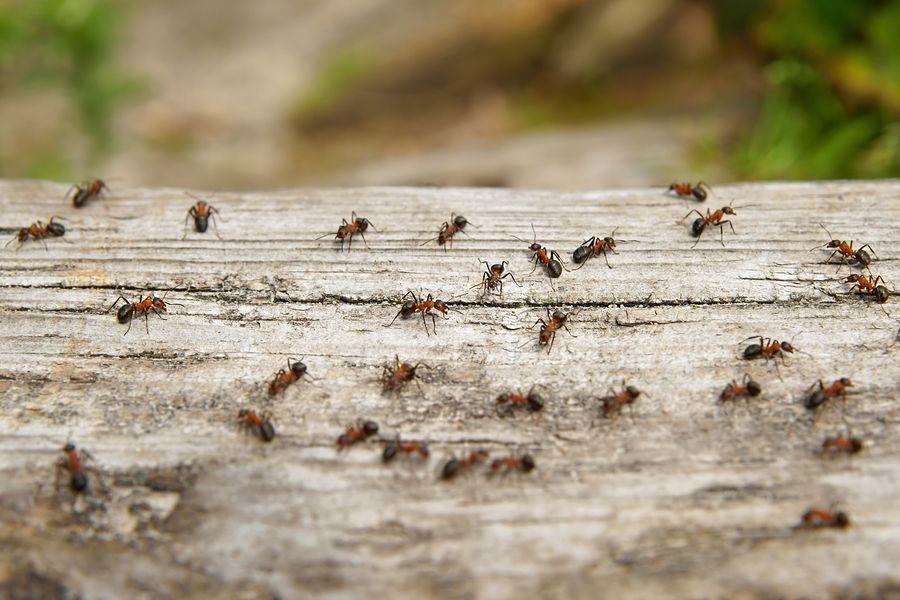 insectenbeet herkennen baby - rode mieren