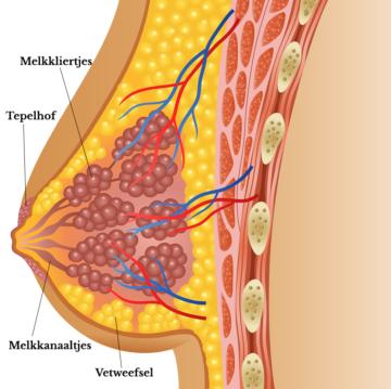 Prolactine stimuleert de groei van melkkliertjes en melkkanaaltjes