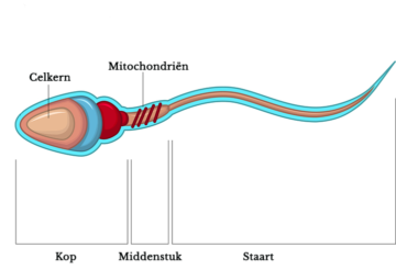 Schematische weergave spermacel
