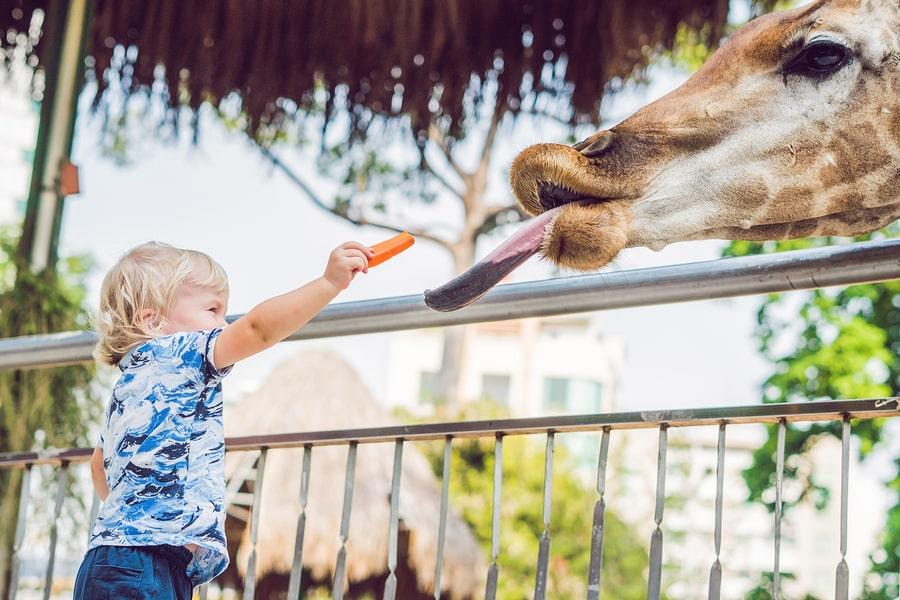 kind van 2 jaar voert een giraffe in de dierentuin